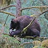 Young black bear feeding on a salmon it has carried into a tree