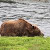 An elderly Brown bear in Pack Creek
