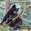 Young black bear in a tree