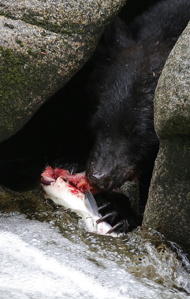 Black bear fishing for pink salmon in Anan Creek, and reversing into a cave next to the water to eat it