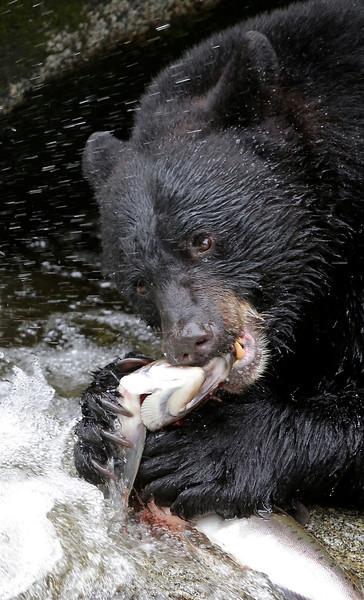 Black bear fishing for pink salmon in Anan Creek