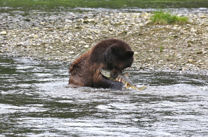 Brown bear in Pack Creek after a successful catch