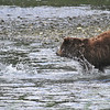 Brown (Grizzly) bear chasing a salmon in Pack Creek - the salmon is taking evasive action and survived
