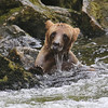 Grizzly bear cub fishing in Anan Creek