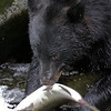 Black bear fishing for pink salmon in Anan Creek.  This one is checking whether the fish is female, in which case it would rip out and devour the eggs