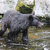Black bear standing in the creek waiting for the salmon