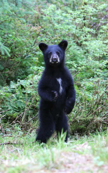 Curious Black Bear cub