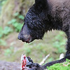 Black bear eating a pink salmon in Anan Creek.  This image shows how adept they are at dissecting out the brain