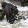 Black bear fishing for pink salmon in Anan Creek