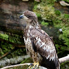 Bald Eagles are abundant where bears are feeding as they can benefit from the waste fish remains