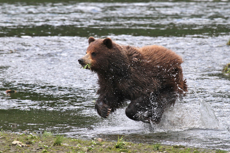 Brown (Grizzly) Bear chasing a salmon in Pack Creek while still eating some sedge