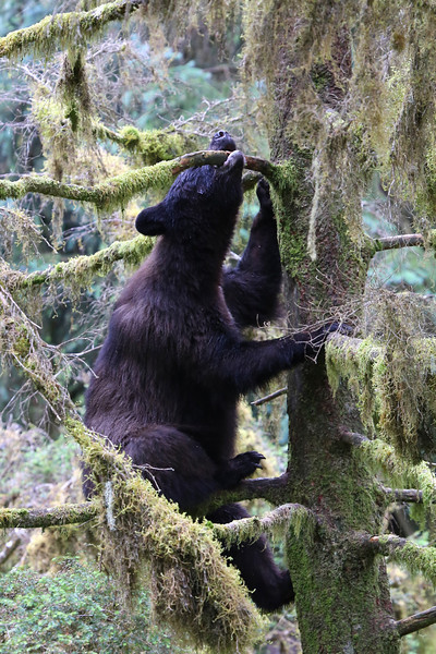 Young black bear descending from a tree using its teeth to help it descend