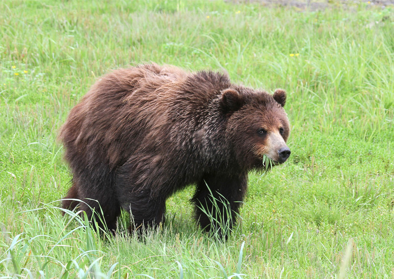 Young female brown bear