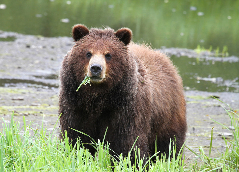 Close encounter with a young female brown bear called Chino