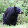 Black bear arriving at Anan Creek to feast on the salmon