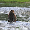 Brown (Grizzly) bear chasing a salmon in Pack Creek