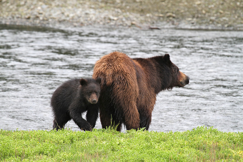 Mother and cub brown bear in Pack Creek