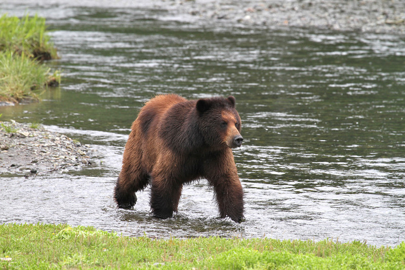 Brown bear searching for salmon in Pack Creek