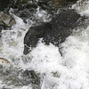 Black bear fishing for pink salmon in Anan Creek - and not quite managing to catch one