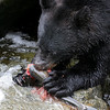 Black bear devouring a pink salmon in Anan Creek