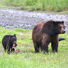 Mother and cub brown bear in Pack Creek after a successful catch