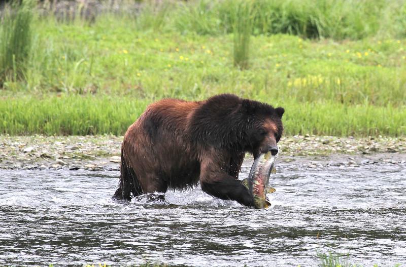 Brown bear fishing in Pack Creek