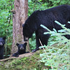 Mother Black Bear and two cubs