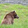 An elderly Brown bear in Pack Creek
