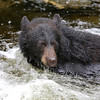 Black bear in the water at Anan Creek waiting for a salmon