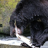 Black bear eating a pink salmon in Anan Creek