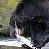 Black bear eating a pink salmon in Anan Creek