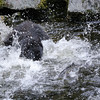 Black bear in the water at Anan Creek trying to catch salmon.  This time it missed and the lucky salmon can be seen in the water