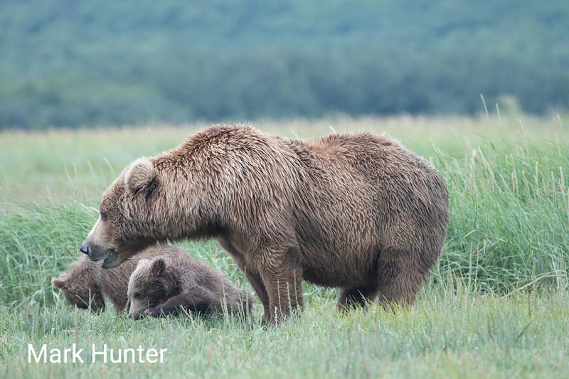 Katmai Mother and Cubs