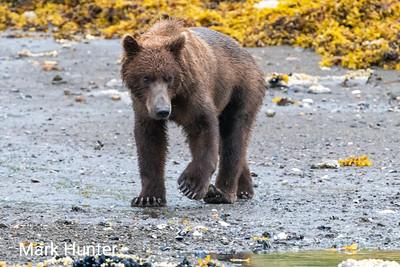 Coastal Brown Bear in Kukak Bay Alaska