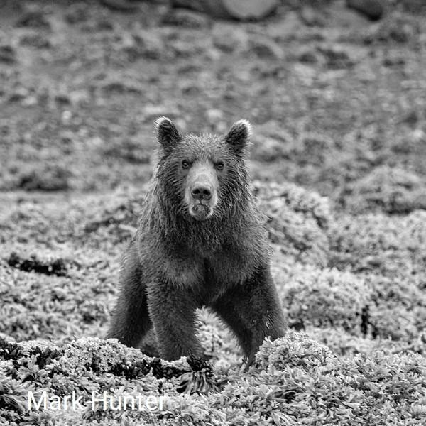 Frowning Coastal Brown Bear