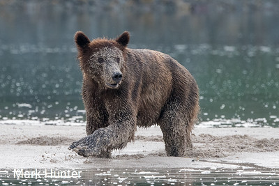 Brown Bear in Pumice