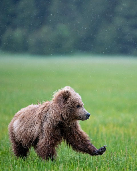 Sleepy bear cub stretches in the rainy grassland of Lake Clark National Park