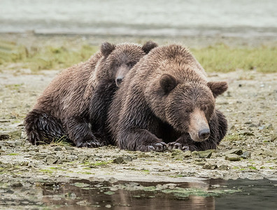 Napping with mom; Alaskan Brown Bears