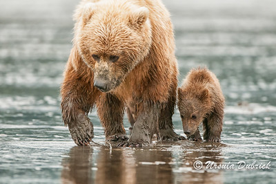 Learning how to dig for Clams - Alaskan Brown Bear teaching her cub how to find clams