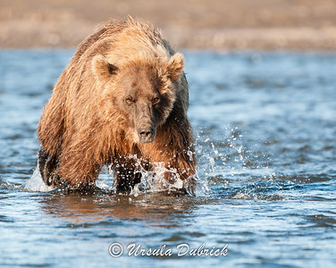 Brown Bear - Lake Clark National Park