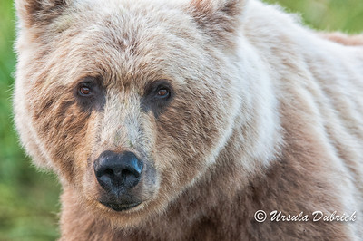 Portrait of Alaskan Brown Bear
