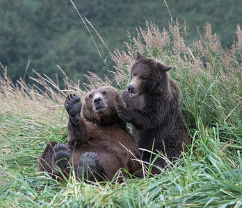 High Five = Brown Bears, Geographic Harbor, Katmai National Park, Alaska