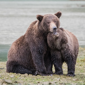 Affection - Alaskan Brown Bear with Cub