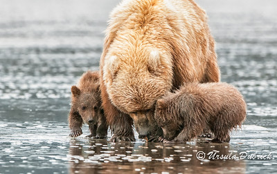 Finding Clams - Mom showing her cubs how to find clams