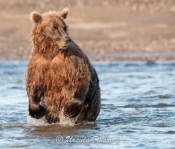 Looking for Salmon - Lake Clark National Park, Alaska