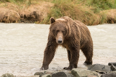 Strolling - Brown Bear, Geographic Harbor, Katmai National Park, Alaska