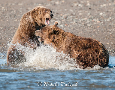Fighting over Salmon Rights