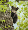 Little Black Bear - Cades Cove, Great Smoky Mountains National Park