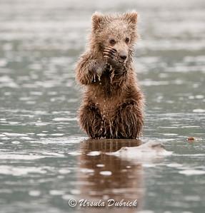 Alaskan Bear Cub eating a clam