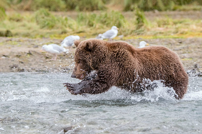 Pouncing - Brown Bear catching salmon